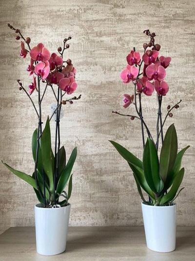 Phalaenopsis Orkide Çiçeği