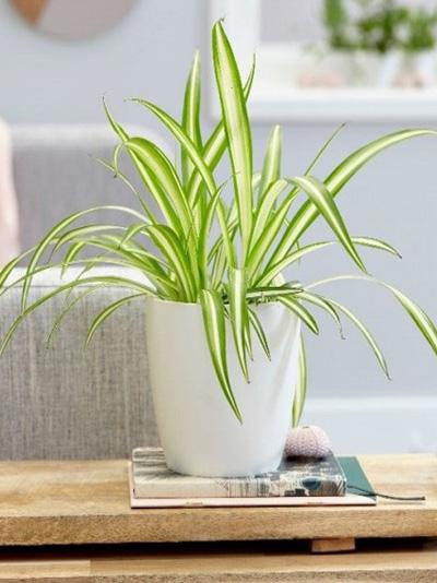 Phalaenopsis Orkide ÇiçeÄŸi
